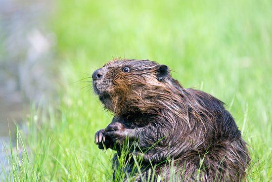 beavers bums