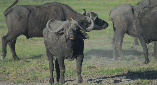 African buffalo herds