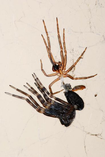 Spiders depend on a mix of muscle