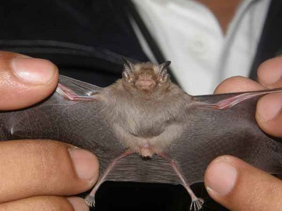 World smallest mammal bumblebee bat