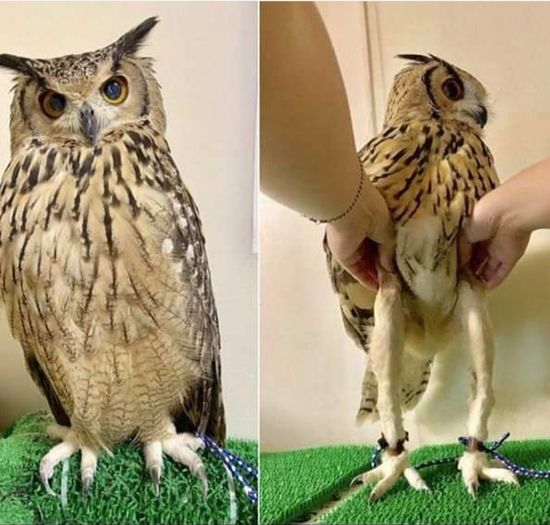 Owl has very long leg