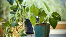 8 Benefits of Money Plant at Home t...