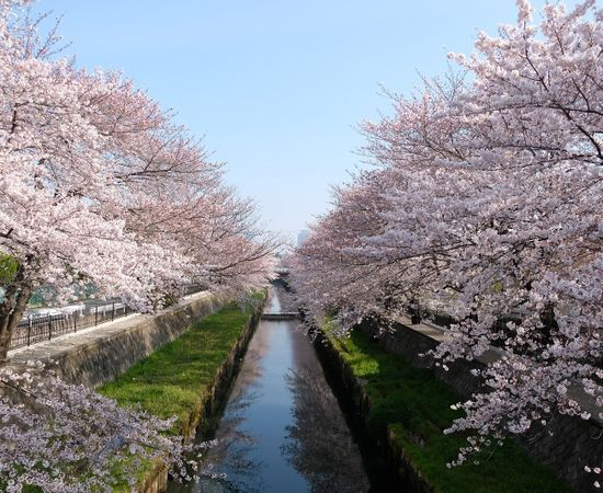 Japan in Cherry Blossom Season